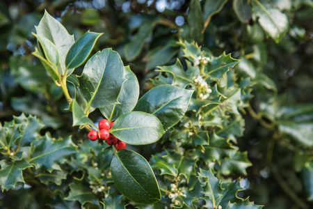 red berries: A cluster of red Berries amongst the prickly leaves of the holly bush