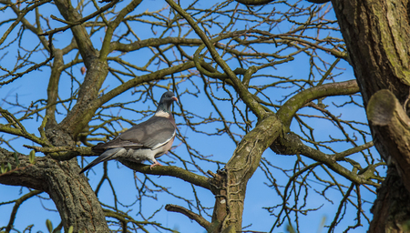 beak pigeon: A Wood Pigeon standing on the branch of an old tree