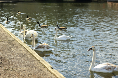 Beautiful white Mute Swans on the River Great Ouse at Bedford