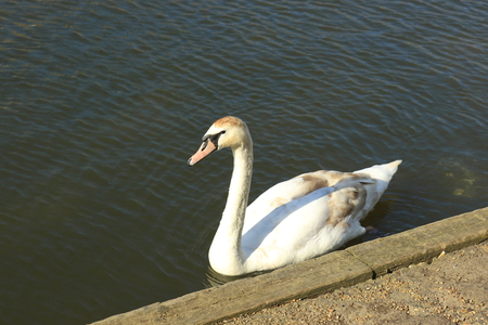 A beautiful white Mute Swan on the River Great Ouse at Bedford