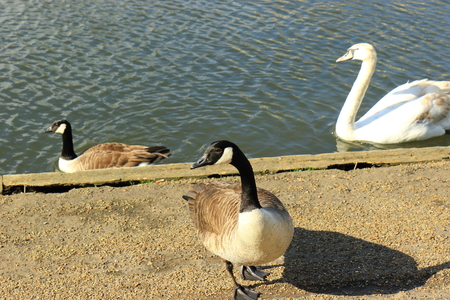 branta: Canada Goose (Branta Canadensis) by the River Great Ouse Stock Photo