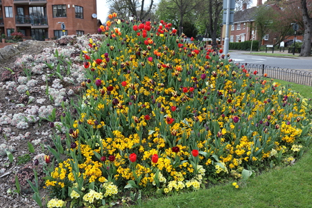 Beautiful garden full of colourful Tulips in Bedford Stock Photo