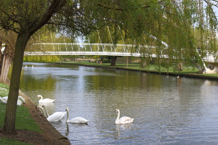 canadensis: Beautiful white Mute Swans on the River Great Ouse at Bedford