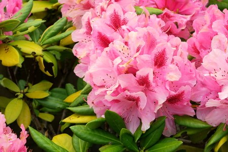Beautiful flowers of the Pink Rhododendron