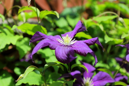 clematis: A view of the beautiful purple climbing plant Clematis