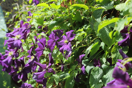 climbing plant: A view of the beautiful purple climbing plant Clematis