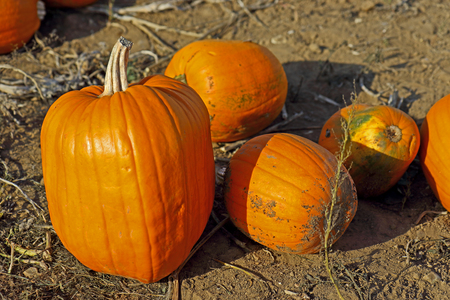 The concept of Halloween with Pumpkins in the field