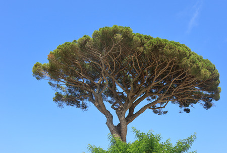 Pinus pinea or Stone Pine on the isle of Capri