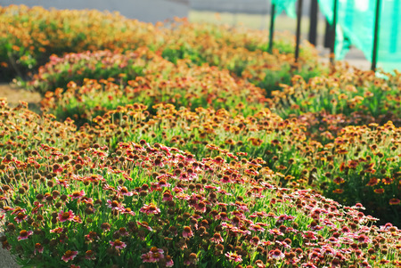Schöne Beet mit blühenden Gaillardia