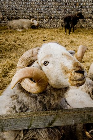 lambing: a ram in his pen Stock Photo