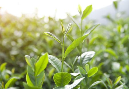 hojas de te: tea leaves Foto de archivo
