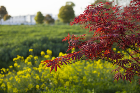 maple leaves: Red Maple Leaves