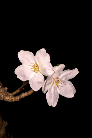 Close up to Cherry Blossom on dark background