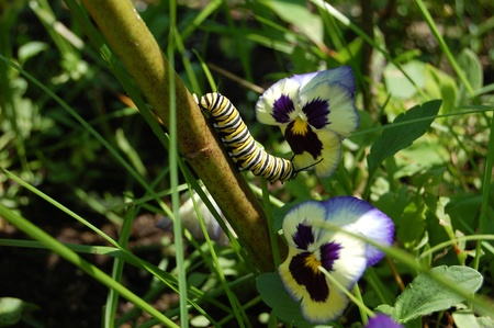 monarch caterpillar and flowers photo