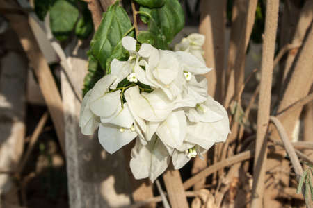 White flower in the nature  Stock Photo