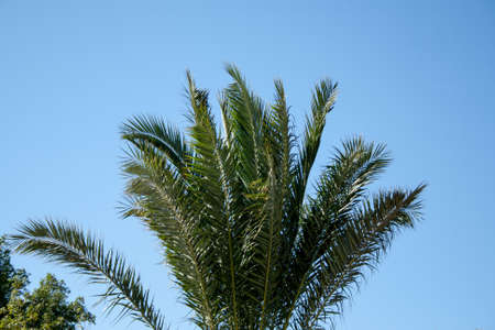 Palm tree on the cloudless Sky photo