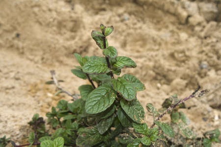 Fresh Peppermint Plant in Nature  Stock Photo