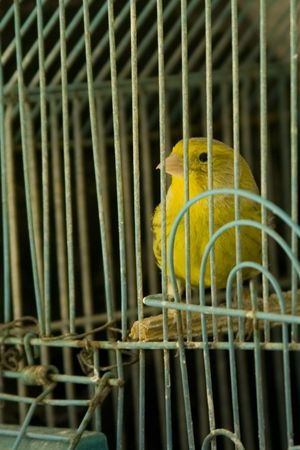 canary bird: Detail of a caged yellow canary Stock Photo