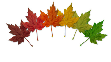 Six colorful maple leaves on a white background. photo