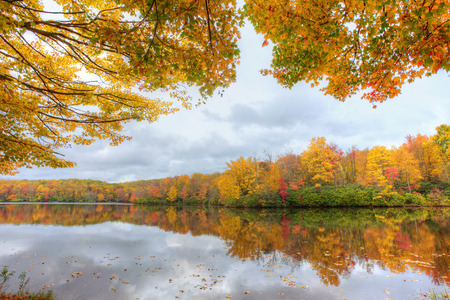 yellow trees: Still waters on a pond surrounded by yellow maple trees.