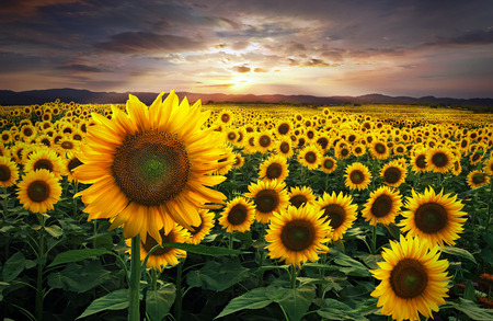 Een groot veld met zonnebloemen tijdens een prachtige zonsondergang.