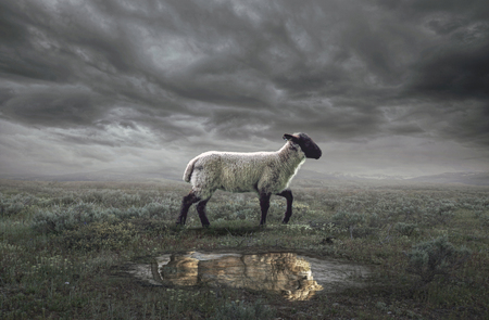 A surreal image of a lamb with a lion reflection Foto de archivo