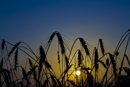 Sun rising seen through a field of wheat