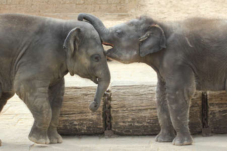 gently: Elephants touching each other gently trunk park