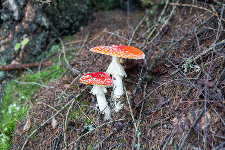 muscaria: two spotted toadstools in the woods