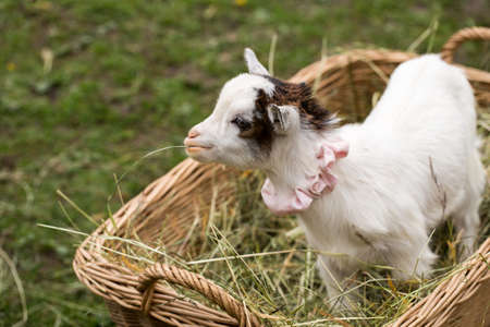 fidgety: Cute baby goat cub on lawn in bag