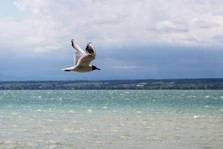 wingspread: Sea gull closeup on a blurred backgrond Stock Photo