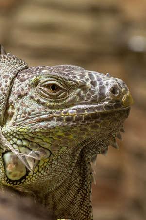 Closeup of an iguana face dino reptil Stock Photo