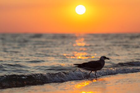 Silhouette of seagull in the morning with ni sunrise background