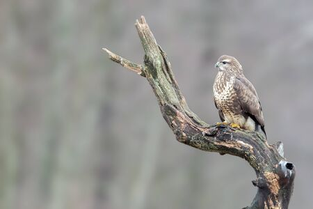 Common buzzard close up portrait in the forest
