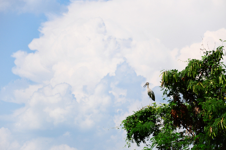 gray herons: Gray egret in tree with blue sky