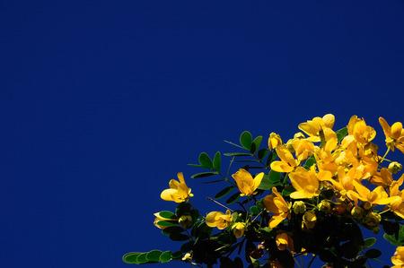 cassia: Flower yellow Spectacular Cassia