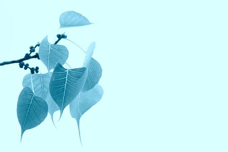 bod: Bodhi or pho leaves or bo leaf blue color