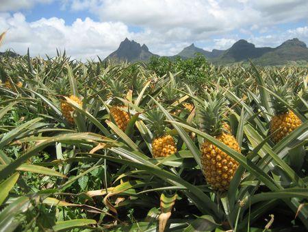 pi�as: De pi�a en el campo de Les Mariannes, Mauricio