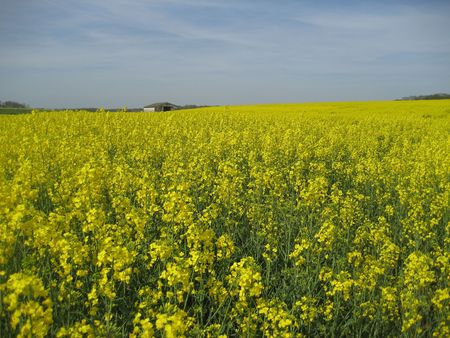 Yellow colza field in Normandy, France photo