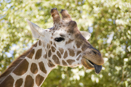 g spot: Head shot of a Reticulated Giraffe (Giraffa reticulata) sticking out tongue at zoo.