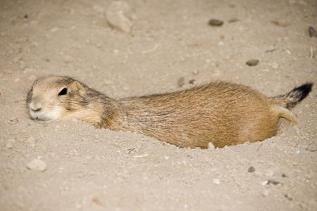 burrow: Black-Tailed Prairie dog (Cynomys ludovicianus) lazily resting on burrow.