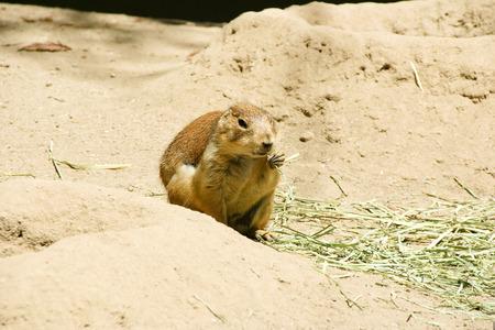 burrow: Black-Tailed Prairie dog (Cynomys ludovicianus) eating dried grass by burrow. Stock Photo