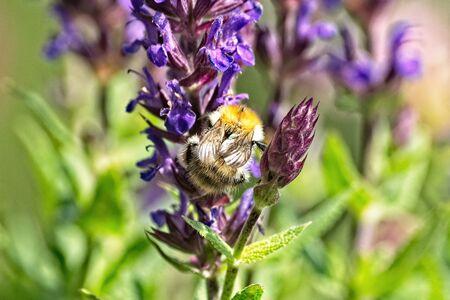 wild bee on the blossom of a salvia nemorosa