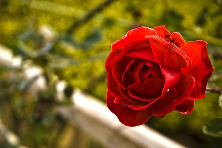 A red rose with an unfocus background Stock Photo