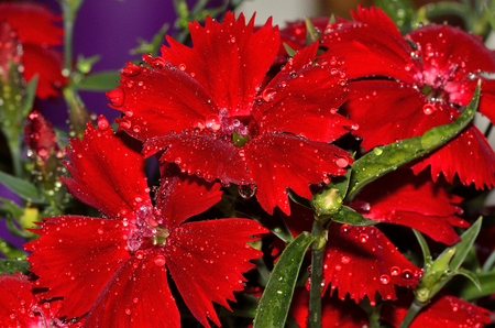 red  carnation: Close up of red carnation flowers with water drops.