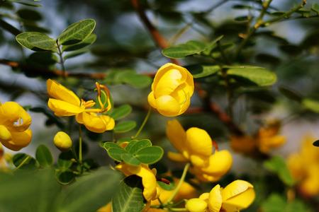 cassia: Cassia yellow flower