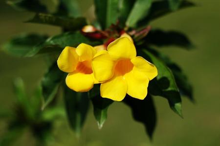 warblers: Allamanda cathartica