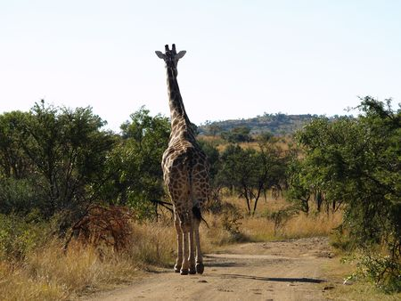 Giraffe walking in road. Stock Photo