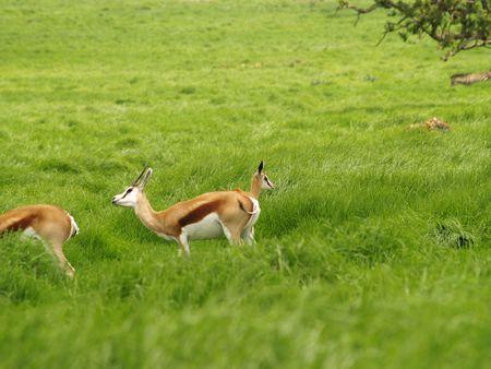 Springbok Mother and Calf Stock Photo