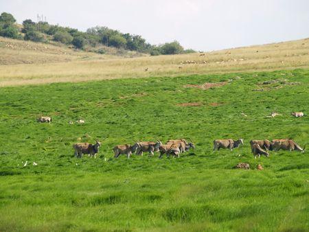 Gemsbok Herd.